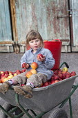 A girl sitting in a wheelbarrow of apples from her garden, near Wrexham, North Wales. - Paul Box - ,2010s,2011,apple,apples,child,CHILDHOOD,children,crop,crops,diet,diets,female,females,food,FOODS,fruit,fruits,garden,gardens,girl,girls,grow,grower,growers,growing,harvest,harvesting,having fun,Healt