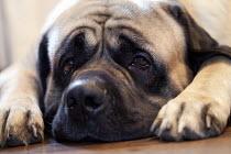 A pet dog in Derby. - Paul Box - 24-12-2010