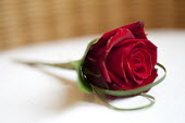 A red rose for a wedding in Derby. - Paul Box - 24-12-2010