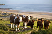 Cows in a field above Freshwater West beach. Pembrokeshire, Wales. - Paul Box - 16-05-2012