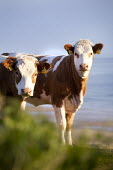 Cows in a field above Freshwater West. Pembrokeshire, Wales. - Paul Box - 16-05-2012