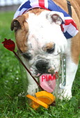 A British Bulldog drinks froma Pimms jug at the celebrations of the Queen's Diamond Jubilee, Chepstow, Wales. - Paul Box - 2010s,2012,alcohol,animal,animals,canine,CELEBRATE,celebrating,celebration,celebrations,dog,dogs,drink,drinker,drinkers,drinking,drinks,flag,flags,holiday,holidays,jug,jugs,Leisure,LFL,LIFE,nationalis
