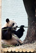 A Giant Panda (Ailuropoda melanoleuca) eating Bamboo in captivity in the enclosure at Edinburgh zoo. Scotland - Paul Box - 14-03-2012