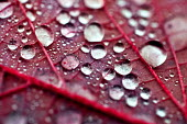 Water droplets. Autumn leaves, Westonbirt Arboretum, Forestry Commission, Wiltshire. - Paul Box - 08-11-2012