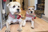 Two dogs with their christmas scarfs, Somerset. - Paul Box - &,2010s,2014,animal,animals,canine,Christmas,dog,dogs,leisure,lfL,LIFE,lifestyle,OWNERSHIP,PEOPLE,pet,pets,present,presents,RECREATION,RECREATIONAL,Xmas