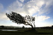 A tree bent by the wind. The Quantock Hills, Somerset. - Paul Box - 2010s,2014,Broadleaf Tree,CLIMATE,conditions,country,countryside,eni,environment,Environmental Issues,gale,gale force,gales,high wind,high winds,Hills,National Park,nature,outdoors,outside,rural,stron