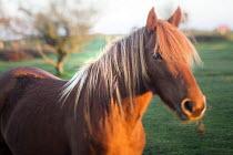 Herd of Exmoor ponies. Hilltop ponies on The Quantock Hills, Somerset. - Paul Box - 18-11-2014