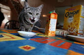 A cat licks its mouth after drinking milk on breakfast table - Paul Box - 2000s,2003,animal,animals,breakfast,cat,cats,content,domestic,drink,drinking,ENI Environmental issues,feline,home,kitten,LFL Lifestyle leisure,mouths,OWNERSHIP,pet,pets,pussy