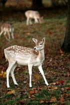 Fallow Deer in Ashton court , Bristol - Paul Box - 01-11-2003