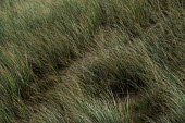 Grass on sand dunes which protects against erosion. - Paul Box - 01-02-2004