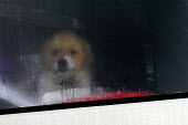 A puppy looks out of the back window of a camper van - Paul Box - 02-03-2004