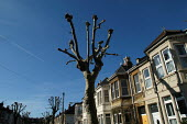 Pruned London plane trees, in a victorian terraced street Bristol - Paul Box - 2000s,2004,and,Blue Sky,branch,branches,cities,city,cityscape,cityscapes,council,Council Services,Council Services,cut,cutting,ENI Environmental issues,environment,growing,growth,houses,housing,in,loc