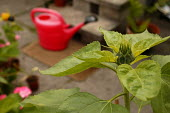 Watering can and sunflower on a patio - Paul Box - 2000s,2004,eni environmental issue,female,females,garden,gardening,GARDENS,girl,girls,grow,growing,lfl lifestyle,plant,plants,pot,pots,Watering