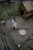 A run down farm in North Wales. A puppy in its enclosure outside. - Paul Box - 20-03-2005