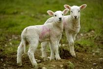 Young lambs, Wales - Paul Box - 20-04-2005