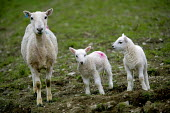 Young lambs with mother , Wales - Paul Box - 20-04-2005