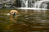 A terrier dog swimming in a river - Paul Box - 20-04-2005