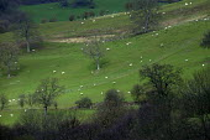 Sheep grazing on Welsh farm land. - Paul Box - 28-11-2003