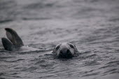Seals in the sea in Scotland. - Paul Box - 05-12-2005