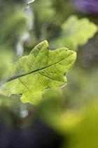 An oak saplings leaf - Paul Box - 2000s,2005,ENI Environmental issues,environment,green,native,nature,oak,plant,planting,plants,practice,Quercus,robur,sapling,species,tree,trees,values,wood,woods