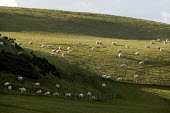 Sheep grazing in field in North Wales. - Paul Box - 2000s,2005,agricultural,agriculture,animal,animals,arable,capitalism,capitalist,country,countryside,domesticated ungulate,domesticated ungulates,EBF,EBF Economy,Economic,Economy,eni environmental issu