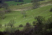 Sheep grazing in field in North Wales. - Paul Box - 2000s,2005,agricultural,agriculture,ANIMAL,ANIMALS,arable,capitalism,capitalist,country,countryside,domesticated ungulate,domesticated ungulates,EBF,Economic,Economy,farm,farmed,farming,farms,field,fi