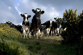 Cows in a field in North Wales. - Paul Box - 2000s,2003,a,AGRICULTURAL,agriculture,animal,animals,capitalism,capitalist,cattle,cow,cows,dairy,Dairy herd,domesticated ungulate,domesticated ungulates,EBF Economy,FARM,farmed,farming,field,fields,he