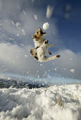 A dog catches a snow ball. - Paul Box - ,2000s,2005,acrobatic,animal,animals,ball,canine,catch,catching,covered,dog,dogs,enjoying,enjoyment,fields,fun,in,jumping,landscape,LANDSCAPES,LFL leisure,outdoors,outside,OWNERSHIP,pet,pets,precipita