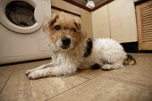 Terrier dog on the kitchen floor. - Paul Box - 2000s,2005,animal,animals,canine,cute,dog,dogs,EXHAUSTED,EXHAUSTION,home,jack russell,kitchen,KITCHENS,LFL Lifestyle leisure,OWNERSHIP,pet,pets,resting,tired,TIREDNESS