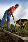 A woman gardening at her allotment. Bristol - Paul Box - 2000s,2005,active,activity,allotment,allotments,border,cities,city,digging,EMOTION,EMOTIONAL,EMOTIONS,FEMALE,food,FOODS,GARDEN,gardener,gardeners,gardening,GARDENS,grow,growing,HAPPINESS,happy,hobbies