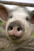 Free range, organic pigs. - Paul Box - 2000s,2005,AGRICULTURAL,agriculture,animal,animals,capitalism,capitalist,cute,domesticated ungulate,domesticated ungulates,EBF Economy,eni environmental issues,farm,farmed,farming,farms,Industries,ind