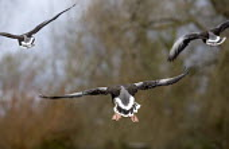Slimbridge wildfowl trust and wetlands centre. Near Gloucester. - Paul Box - ,2000s,2006,animal,animals,beak,bird,birds,canadian,ENI Environmental issues,flying,geese,goose,migrating,migration,wetland,wetlands,wild