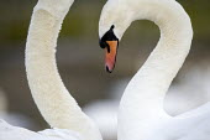 Slimbridge wildfowl trust and wetlands centre. Near Gloucester. - Paul Box - ,2000s,2006,animal,animals,bird,birds,ENI Environmental issues,flock,flocking,flocks,migrating,migration,of,swan,swans,wetland,wetlands,wild
