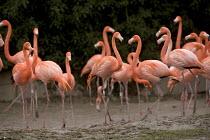 Slimbridge wildfowl trust and wetlands centre. Near Gloucester. Flamingos. - Paul Box - 2000s,2006,animal,animals,bird,birds,conservation,ENI Environmental issues,flamingo,flamingos,Nature Reserve,wetland,wetlands,wild