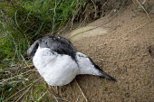A dead shearwater seabird is washed up on a beach Scotland - Paul Box - 01-04-2006
