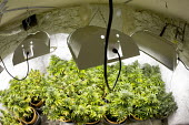 Cannabis plants growing in a basement in Bristol. - Paul Box - 2000s,2006,agricultural,agriculture,aquiculture,basement,bud,cannabis,cellar,cities,city,CLJ,CLJ crime,crime,drug,drugs,farm,farmed,farming,farms,fluorescent,ganja,grass,grow,grower,growing,grown,hash