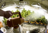 Cannabis plants growing in a basement in Bristol. - Paul Box - 2000s,2006,agricultural,agriculture,aquiculture,basement,bud,cannabis,cellar,cities,city,CLJ,CLJ crime,CLJ crime law,crime,dealer,dealers,dealing,drug,drugs,farm,farmed,farming,farms,fluorescent,ganja