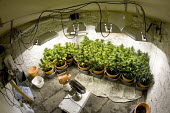 Cannabis plants growing in a basement in Bristol. - Paul Box - 2000s,2006,agricultural,agriculture,aquiculture,basement,bud,cannabis,cellar,cities,city,CLJ,CLJ crime,CLJ crime law,crime,drug,drugs,farm,farmed,farming,farms,fluorescent,ganja,grass,grow,grower,grow