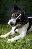 A pet Jack Russell Terrier, sitting in the the garden. - Paul Box - 30-08-2005