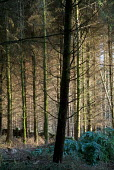 Pine forest in the Snowdonia National Park in North Wales - Philip Wolmuth - 17-04-2004