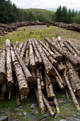 Pine logs awaiting transport on forested land in the Snowdonia National Park - Philip Wolmuth - 01-08-2005