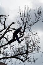 Tree surgeon at work on an Ash tree - Philip Wolmuth - 2000s,2006,back,branch,branches,chain,climber,climbing,cut,cutting,down,EBF Economy,eni environmental issues,environment,growth,hazard,hazardous,hazards,health,job,jobs,LAB LBR work,maintaining,mainte