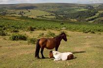 Dartmoor ponies grazing on common land in Dartmoor National Park - Philip Wolmuth - 12-08-2006