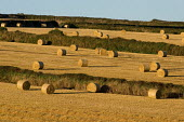 Bales of straw after the wheat harvest on a farm, Cornwall - Philip Wolmuth - 12-08-2006