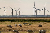 A herd of sheep grazing next to the Little Cheyne Court Wind Farm (Npower Renewables Wind Farm). - Philip Wolmuth - 23-08-2009