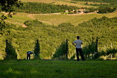 Farmworkers weeding a vineyard in the Chianti winemaking region of Tuscany, Italy. - Philip Wolmuth - 03-06-2010