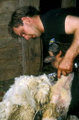 Farmworker sheep shearing - Joanne O'Brien - 2000s,2002,agricultural,agriculture,animal,animals,by hand,capitalism,capitalist,cut,cutting,domesticated ungulate,domesticated ungulates,EBF economy,farm,farm worker,farm workers,farmed,farmer,farmer