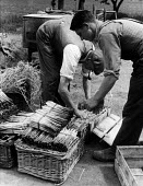 """Agricultural workers packing freshly picked asparagus or """"grass"""", as they call it, into wicker baskets or flats, Evesham, Worcestershire 1947 - Felix H. Man - ,1940s,1947,agricultural,agriculture,asparagus,capitalism,capitalist,crop,crops,EBF,Economic,Economy,employee,employees,Employment,FARM,Farm Worker,farm workers,farmed,farmer,farmers,farmhand,farmhand"""