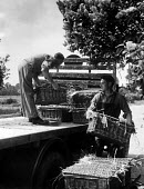 Agricultural workers loading freshly picked asparagus from the fields for transport to market, Evesham, Worcestershire 1947 - Felix H. Man - ,1940s,1947,agricultural,agriculture,asparagus,capitalism,capitalist,crop,crops,EBF,Economic,Economy,employee,employees,Employment,FARM,Farm Worker,farm workers,farmed,farmer,farmers,farmhand,farmhand