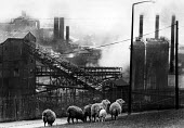 Ebbw Vale Steelworks, tinplate works, South Wales, 1979. - John Sturrock - 1970s,1979,Air Quality,ANIMAL,ANIMALS,British Steel,BSC,capitalism,capitalist,chimney,CHIMNEYS,degradation,domesticated ungulate,domesticated ungulates,EBF,Economic,Economy,eni,environment,Environment
